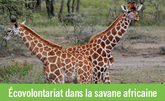 Une population de girafes en voie de disparition