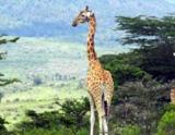 Ecovolontariat: protégez la girafe Rothschild