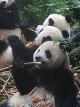 Soins animaliers – Pandas en Chine
