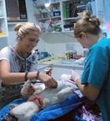 Mission de soins animaliers aux Samoa