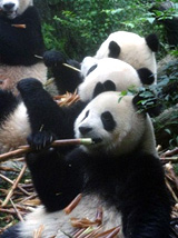 Nouvelle mission: préservation des pandas en Chine