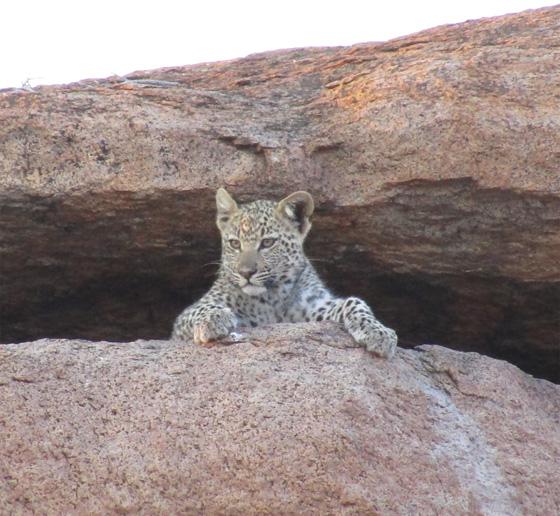 Des léopards au Botswana